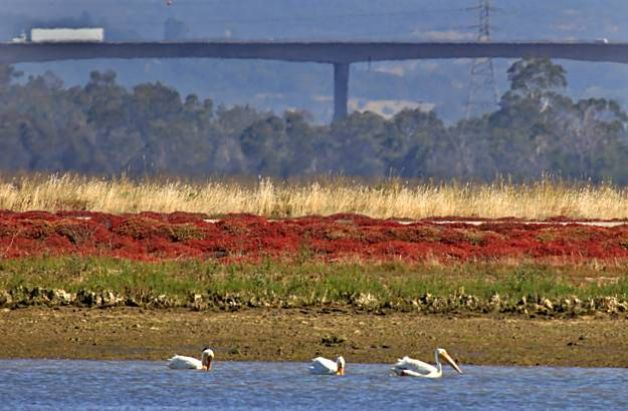 Dutra Group | Marine Construction | Napa-Sonoma Marshes Wildlife Area's Plant Restoration